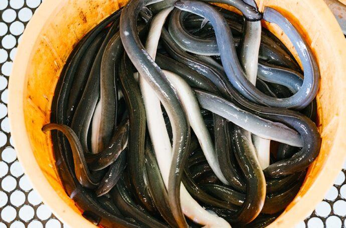 鹿児島鰻が太鼓判を押す、良質で活きの良い鰻だけを出荷