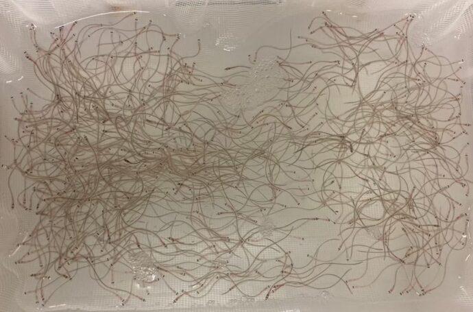 レプトケファルスから変態したシラスウナギ