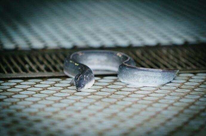 出荷まで鹿児島鰻の養鰻場でじっくりと育てます